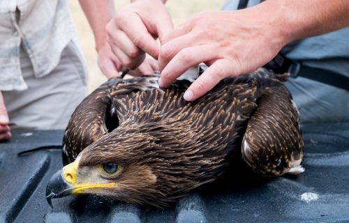 Conservation of Eastern Imperial Eagle in Georgia