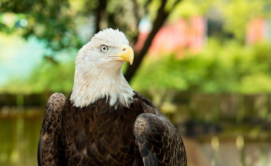Bald-Eagle-0001-9816-1280x720