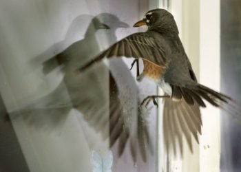 A robin attempts to battle it's own reflection in the window of a home in Janesville, Wis., Wednesday, April 27, 2005.  Homeowner Judy Olsen reports that the bird has spent several hours a day locked in combat with itself.  (AP Photo/The Gazette, Bill Olmstead)