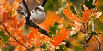 Long-tailed tit (Aegithalos caudatus) sits in the autumn foliage.